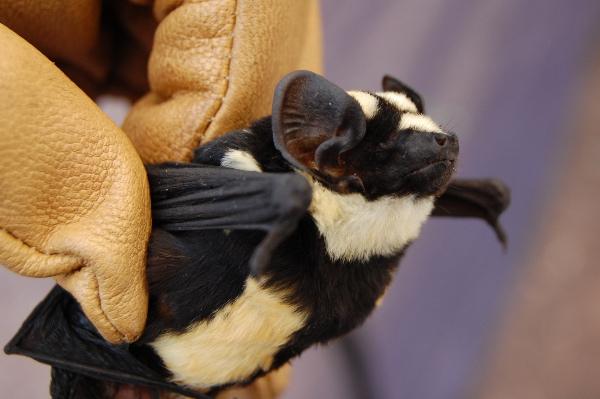 NiumbahaSuperba Bat