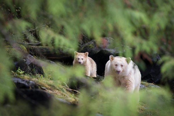 Kermode bears