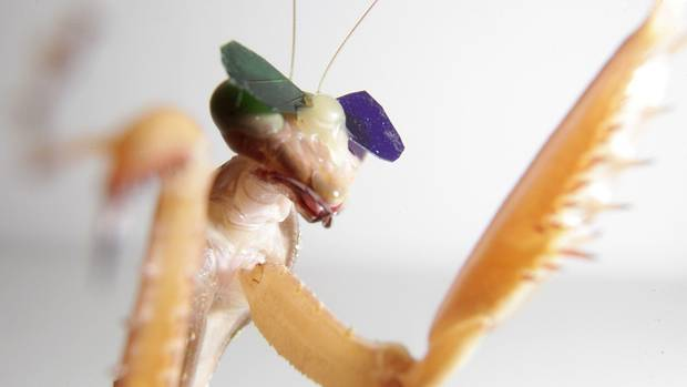A mantis in 3-D glasses, stuck on with beesewax.