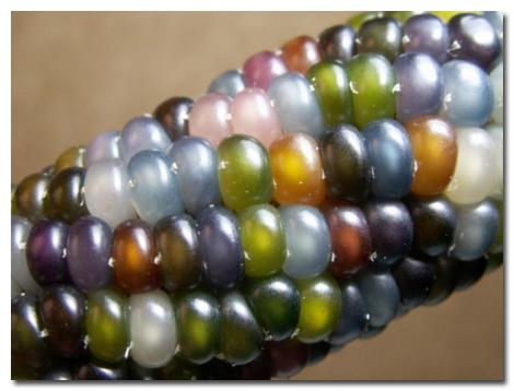 Mendoza corn (2)